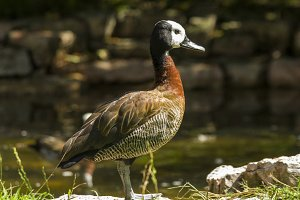Duck II