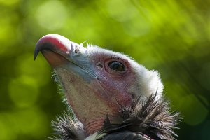 The glourious vulture