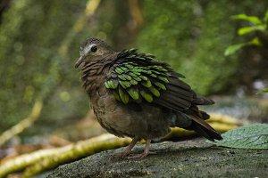 Exotic Pigeon