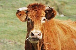 Cow. farm