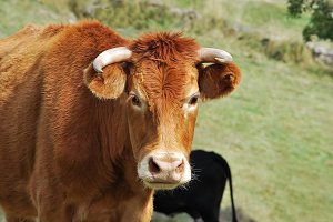 Farm. Cow