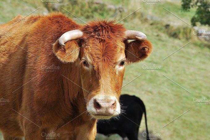 Farm. Cow - Animals