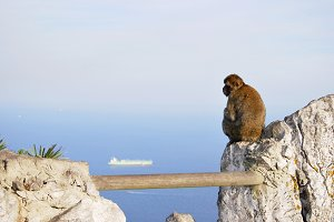 Lonely Monkey in Gibraltar