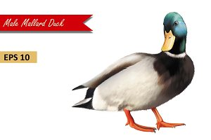 Male Mallard Duck. Vector