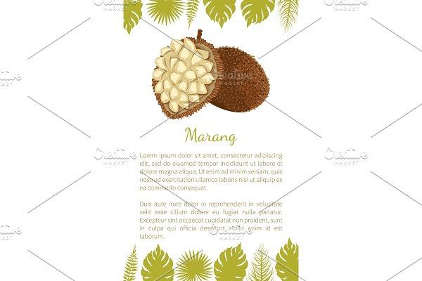 Marang Exotic Juicy Fruit Vector