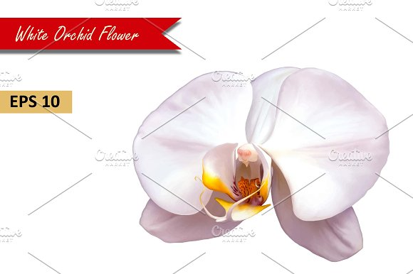 White Orchid Flower. Vector
