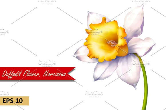 Daffodil flower or Narcissus. Vector