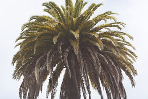 West Coast Lone Palm