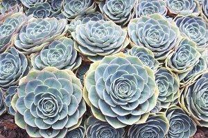 Rose Succulents I
