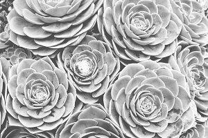 Rose Succulents II