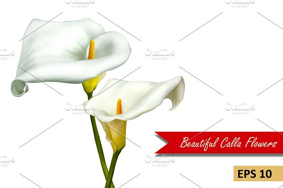 White Calla Lily Flowers. Vector - Objects