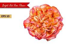 Red Rose Flower. Vector