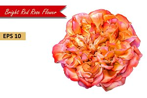 Red Rose Flower. Vector