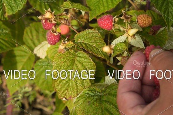 Gathering ripe raspberries