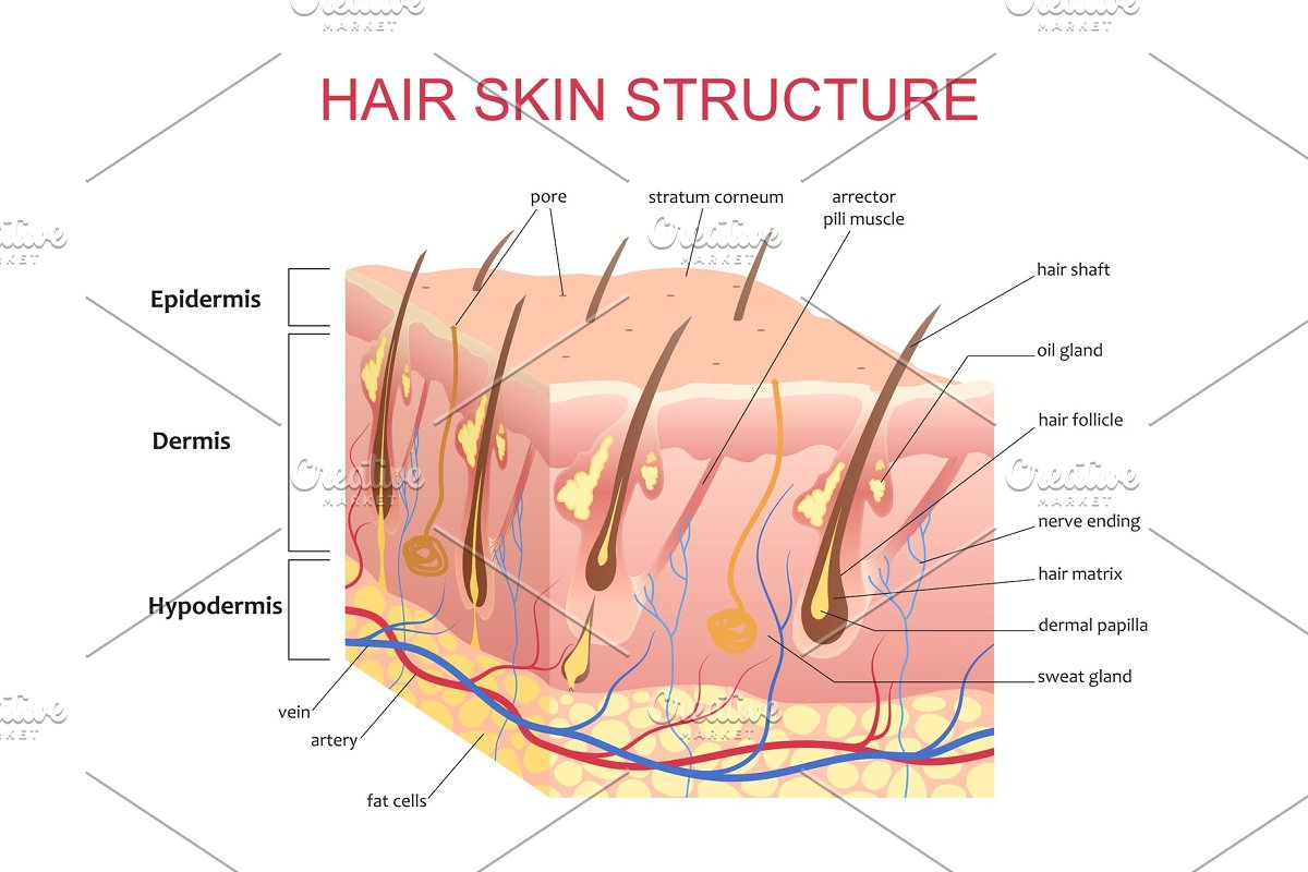 3D structure of the hair skin scalp in Objects - product preview 8