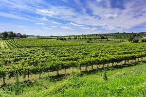 Bardolino vineyard