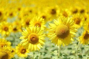 Sunflower in a meadow.jpg