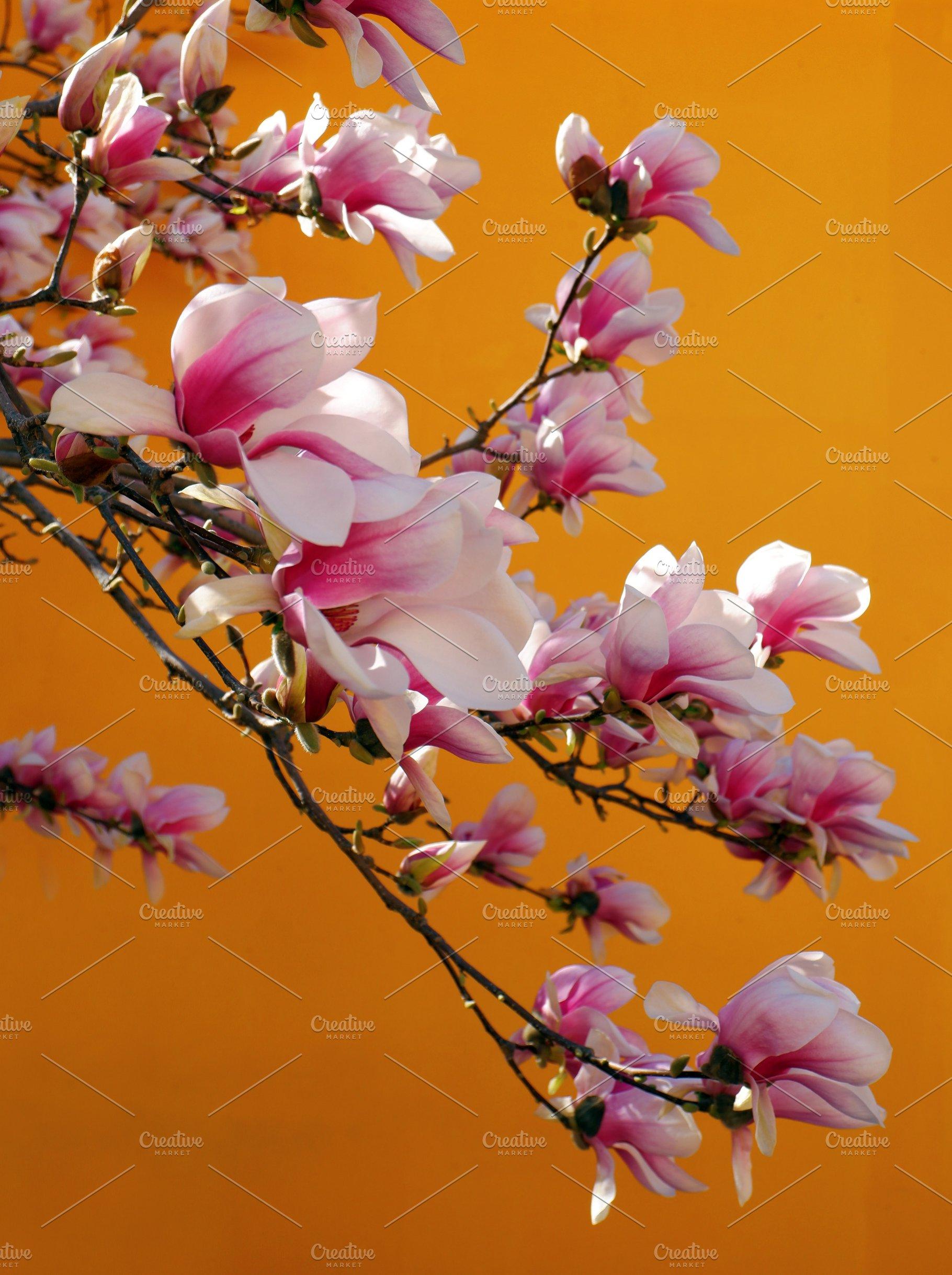 Pink Magnolia Flowers Nature Photos Creative Market