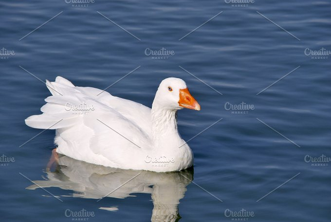 White goose. Snow goose - Animals