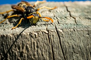Wasp on a wood