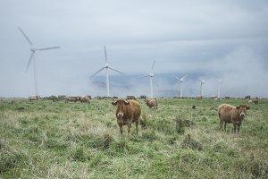 Cows and wind turbine