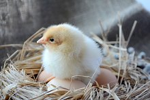 Chick in the nest with eggs. Easter by  in Animals