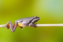 European green tree frog by  in Animals