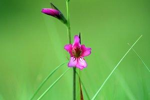 Pink wild gladiolus