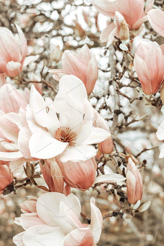 Close Up Of Magnolia Bloom Nature Photos Creative Market