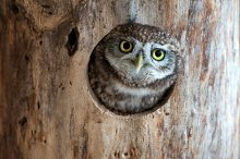 The little owl (Athene noctua) by  in Animals