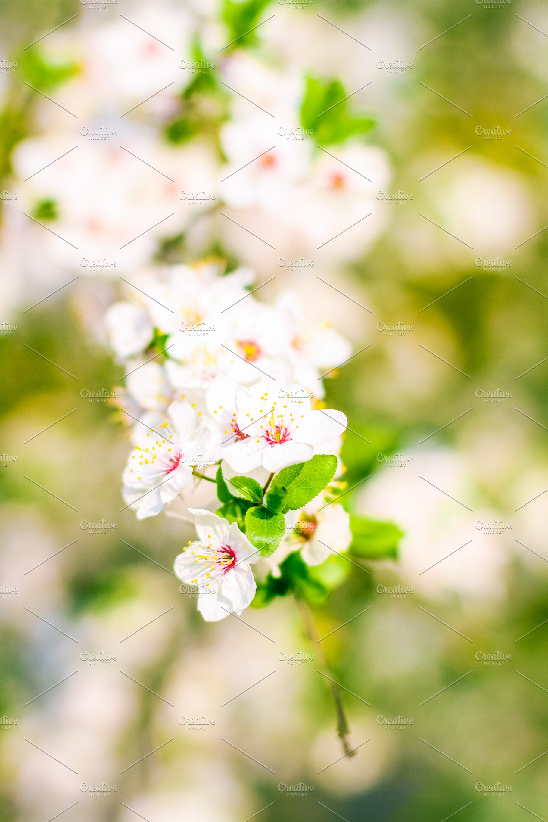 Cherry Tree Blossom In Spring White High Quality Nature Stock