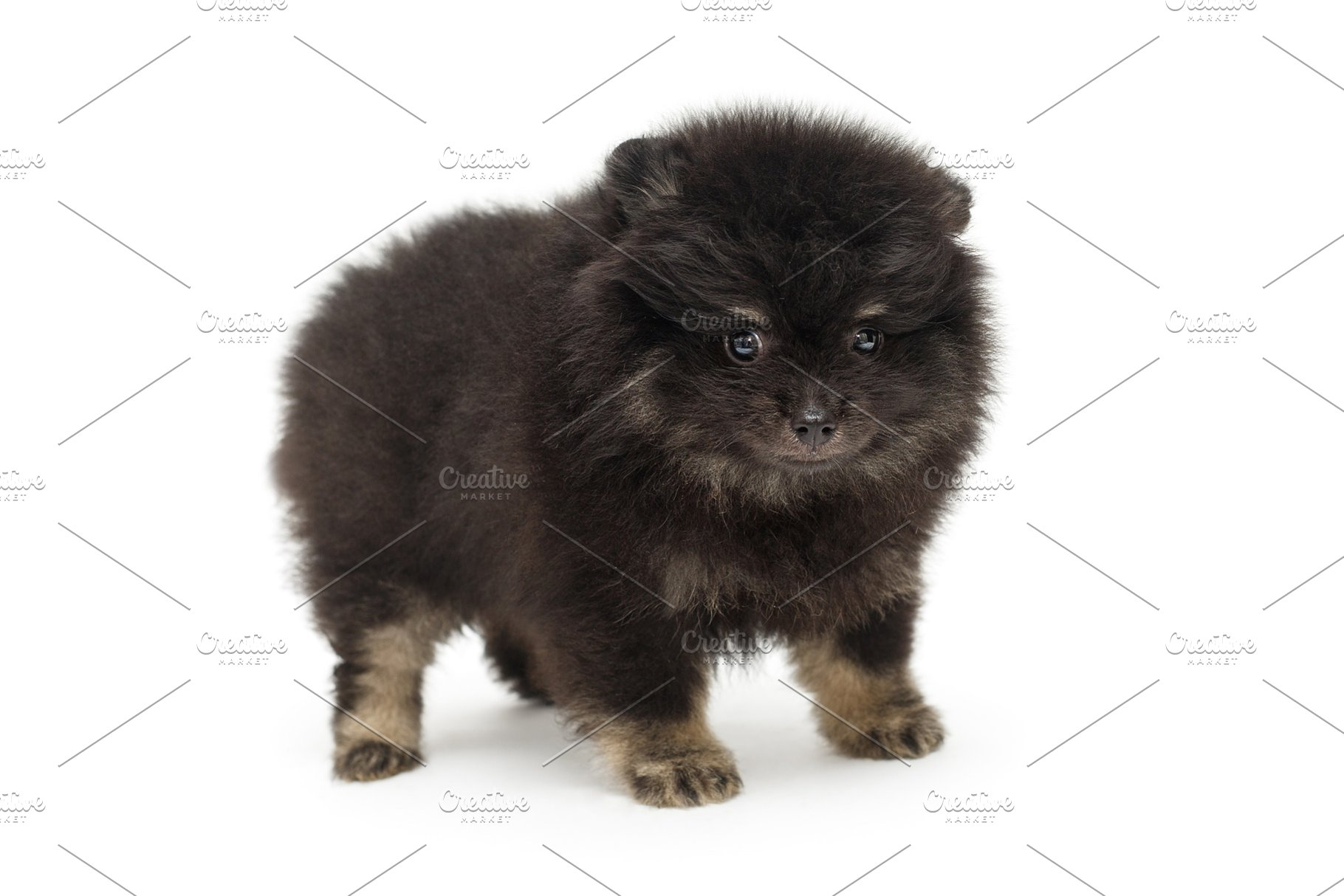 Save Little Black Pomeranian Puppy