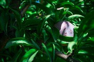 Hiding Plum