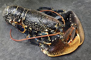 fresh european lobster of Galicia