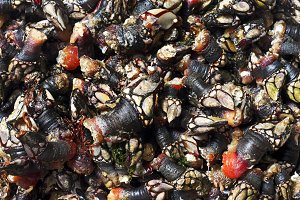 fresh goose barnacles of  Galicia