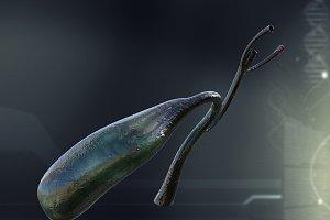 Human Gall Bladder Anatomy