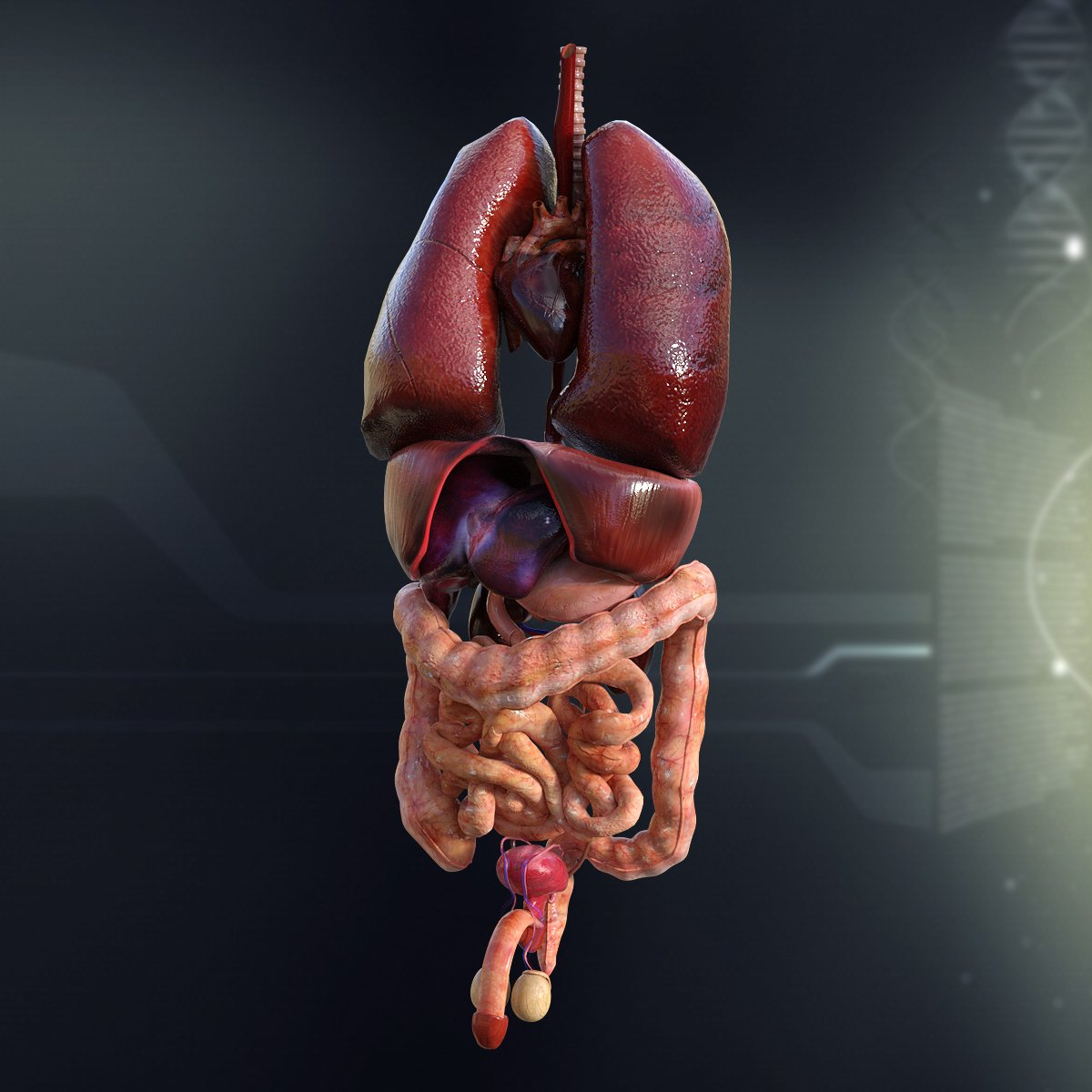 Human Male Internal Organs Anatomy ~ 3D People Models ~ Creative Market