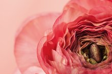 Pink ranunculus (buttercup) on pink by  in Holidays
