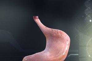 Human Stomach Anatomy