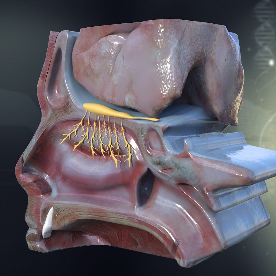 Human Nose Anatomy ~ 3D ~ Creative Market