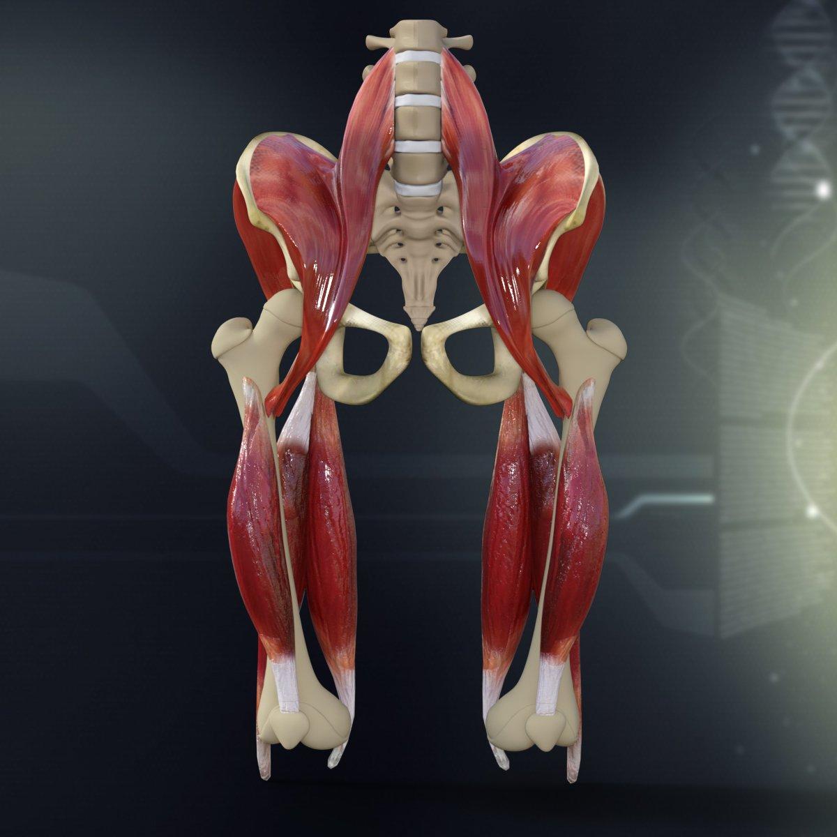 Human Pelvis Muscle Bone Anatomy ~ 3D ~ Creative Market