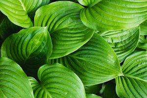 The leaves of Hosta