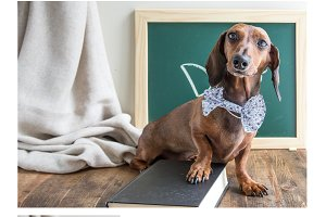 Red dachshund dog on wooden table