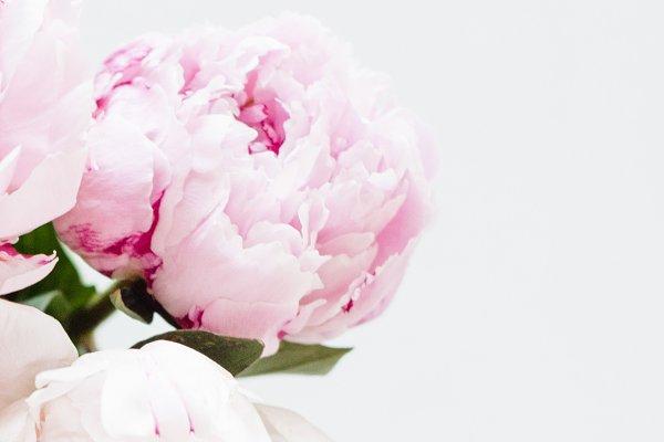 Stock Photo   Pink Peony Image