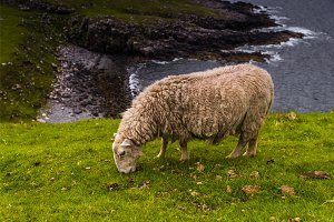 Sheep in Neist Point fields