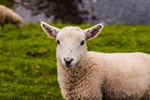 Lamb in Neist Point fields, Scotland
