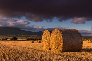 Round straw bales in the fields
