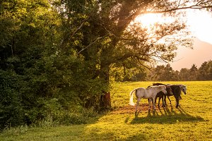Horses playing on the meadow