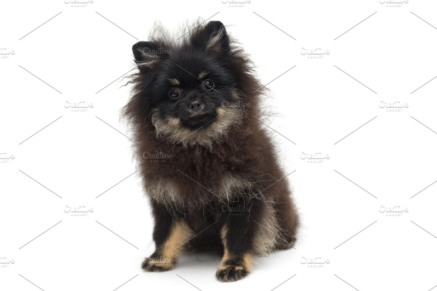 Save Black And Gy Pomeranian Puppy