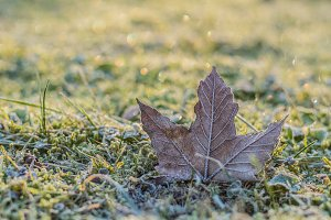Hoar-frost on a fallen maple leaf